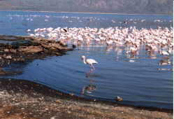 Flamingos too lethargic to flee from predators are easy  meals to eagles, worthogs, and baboons.