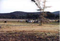 Cattle amble listlessly over barren ground having already consumed  the most nutrious plants.