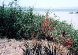Aloe plant blooms perfusely on the island in Lake Baringo.